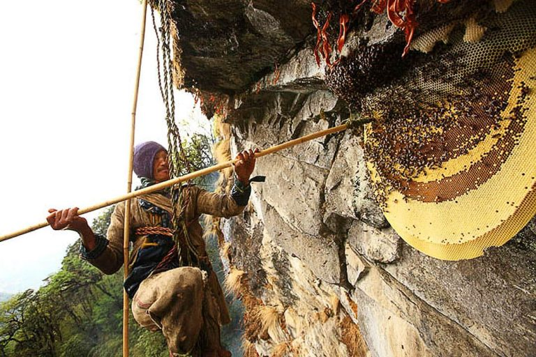 These Himalayan Bees Make Psychedelic Honey