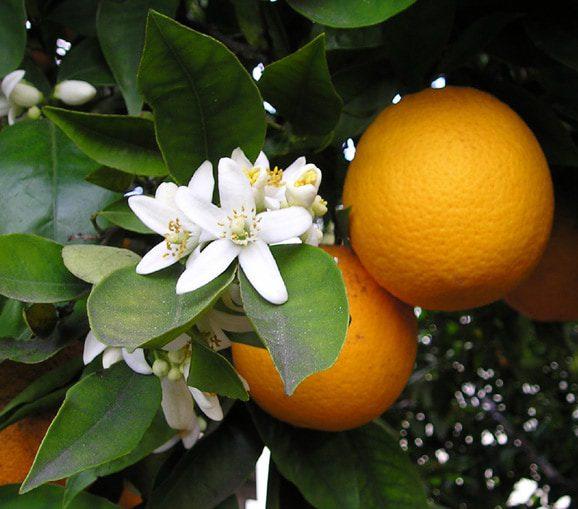 Citrus Growers Manufacture Huge Amounts of DMT