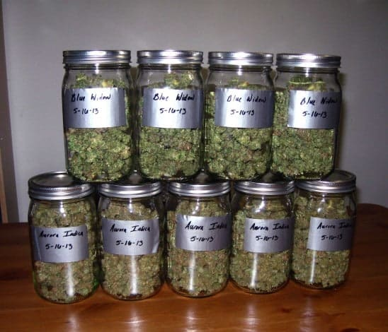 buds-curing-in-mason-jars-548x470