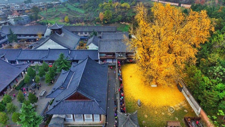 Ancient Chinese Ginkgo Tree Covers Buddhist Temple With Ocean Of Golden Leaves