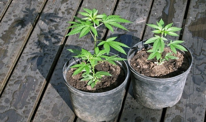 Growing Weed For Dummies: 10 Simple Steps To Get You Started