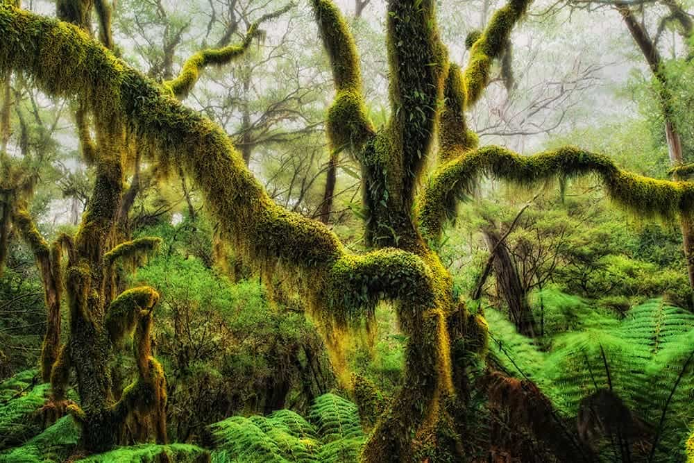 Antarctic Beech Draped in hanging moss in Oregon