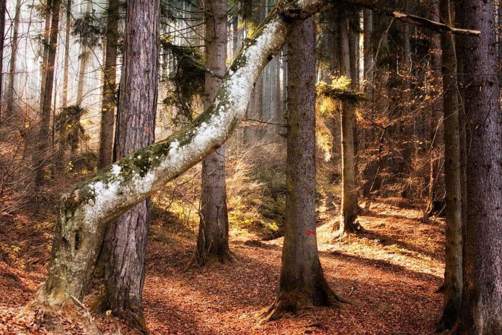 The forest surrounding Rasnov