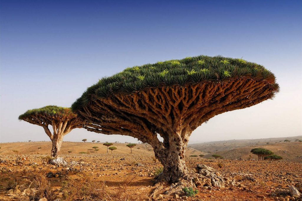 Dragonblood Trees, Yemen
