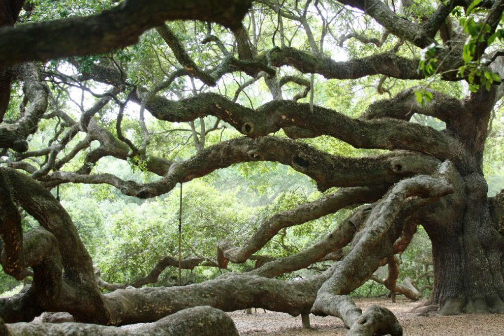 Angel Oak in John's Island South Carolina