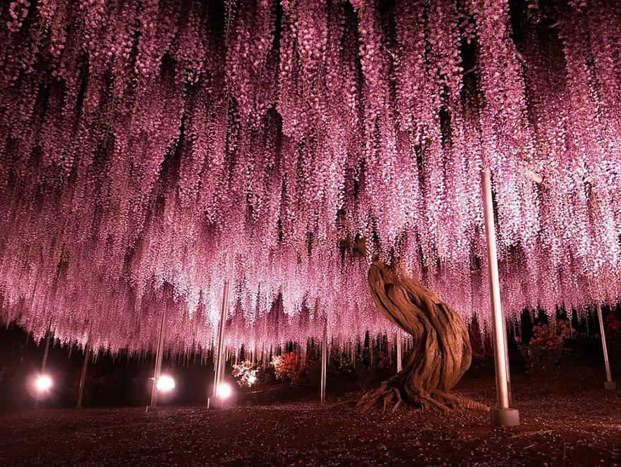 144-year-old Wisteria in Japan