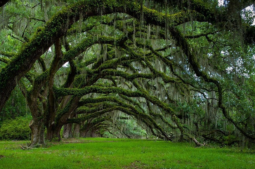 Avenue of Oaks at Dixie Plantation in South Carolina