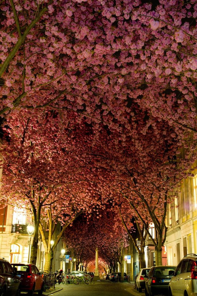 Cherry trees in Bonn, Germany