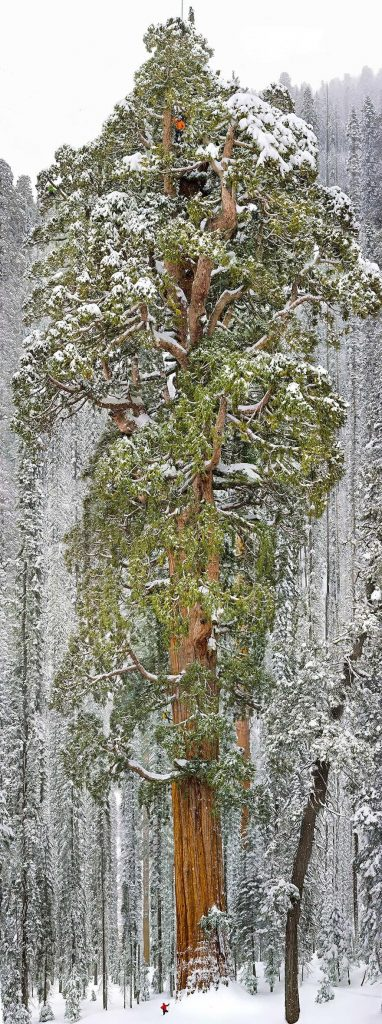 Giant Sequoia Tree in California