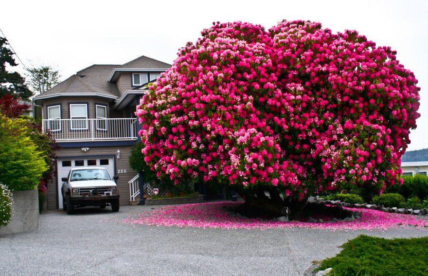 Rhodoendron in Ladysmith, BC
