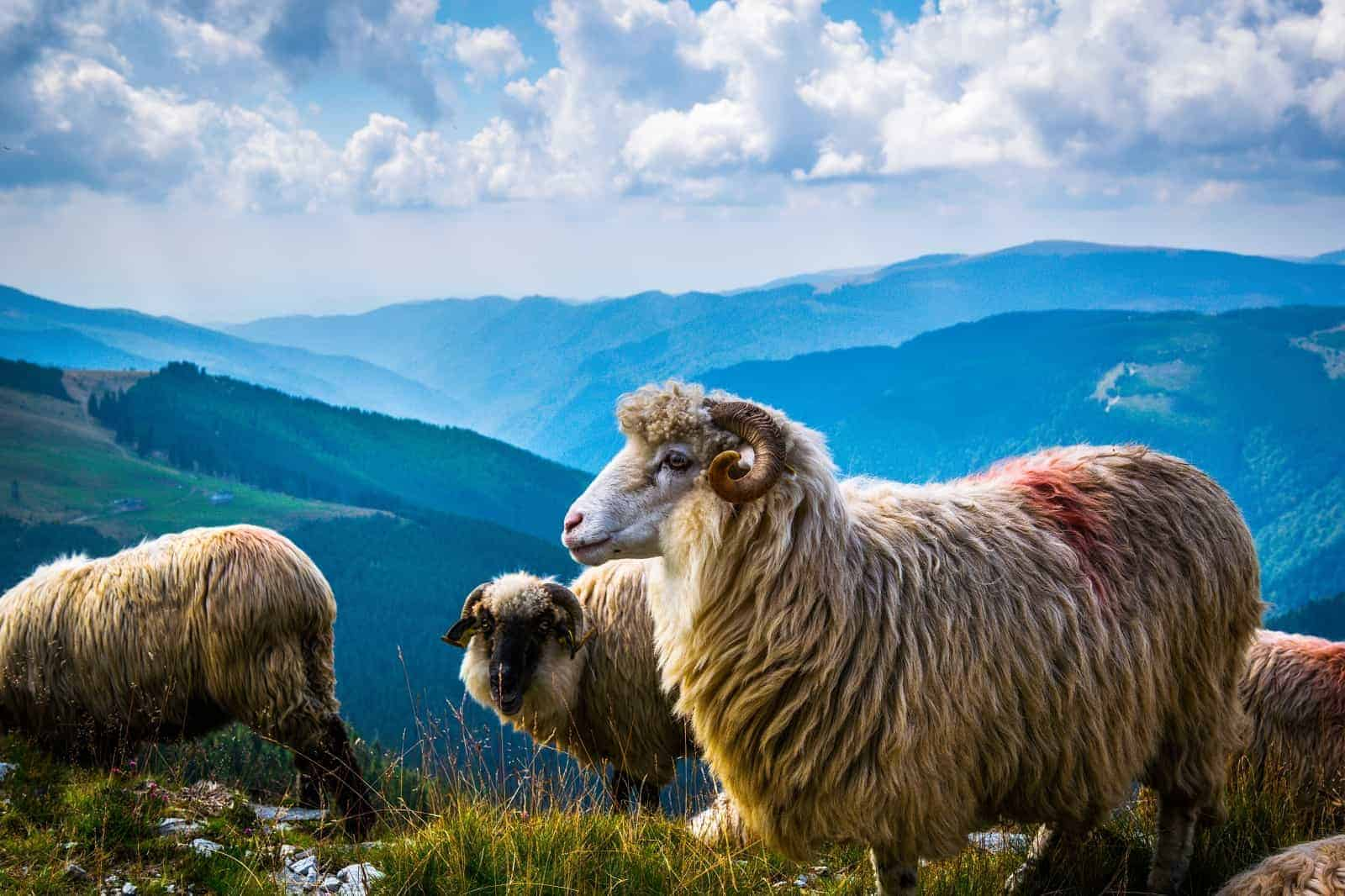 sheep flaock Parâng Mountains
