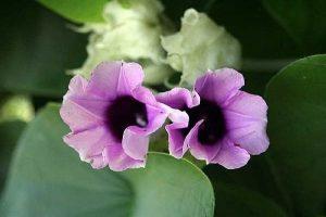 grow-hawaiian-baby-woodrose-1.3-800X800