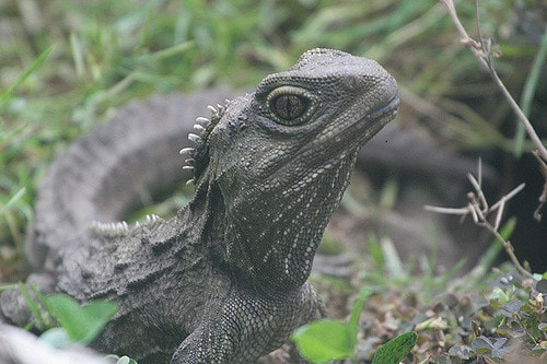 The New Zealand reptile the tuatara retains a functional third eye used for regulating daily cycles (Out Shooting photos)