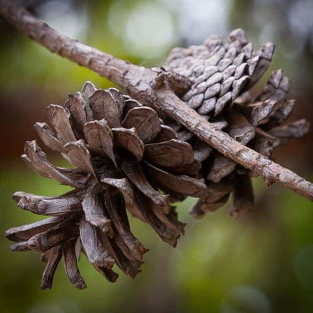 The pineal gland is so called due to its resemblance to a pine cone (Southernpixel – Alby Headrick)