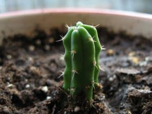 Echinopsis-pachanoi-small