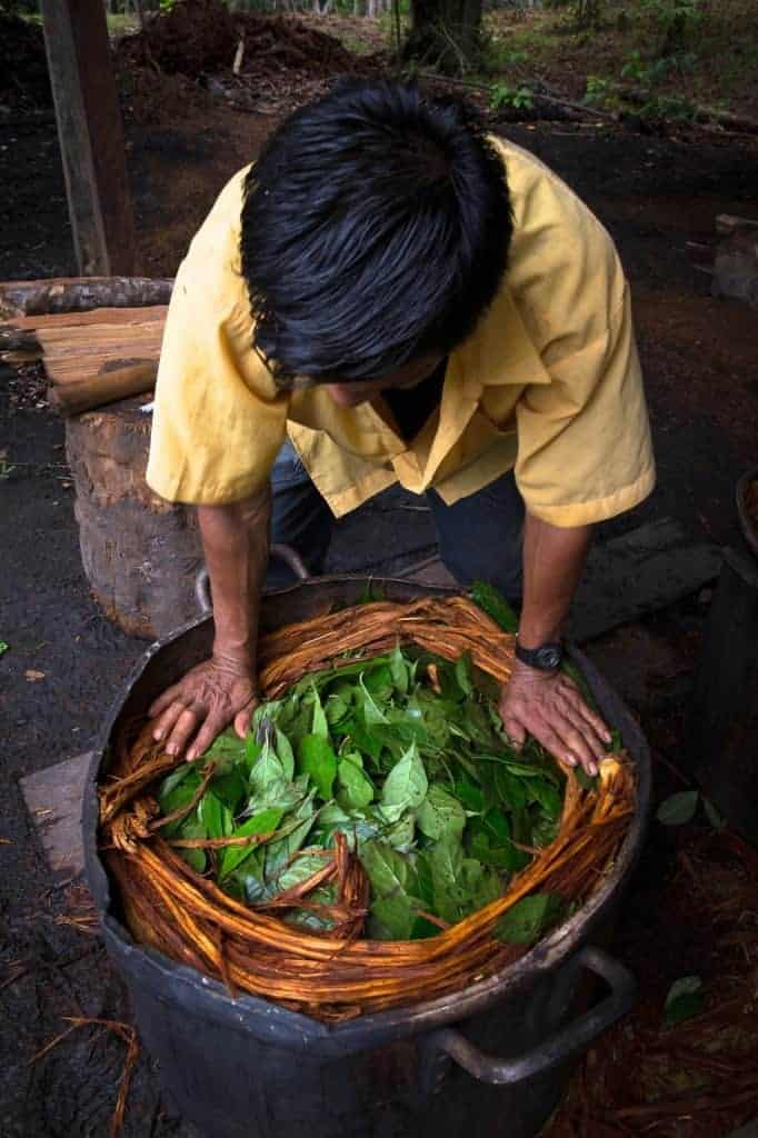 The ayahuasca brew is prepared by combining chacruna leaves, that contain the powerful psychedelic DMT, with the ayahuasca vine.