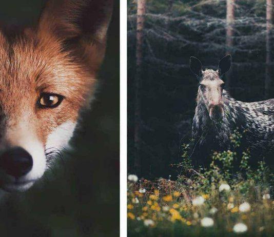 Konsta Punkka wild animal photography
