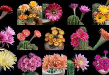 Blooming Cactus Flowers