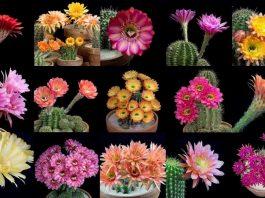 Blooming Cactus Flowers