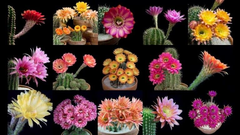Brilliant Blooming Cactus Flowers Overnight is Absolutely Hypnotizing