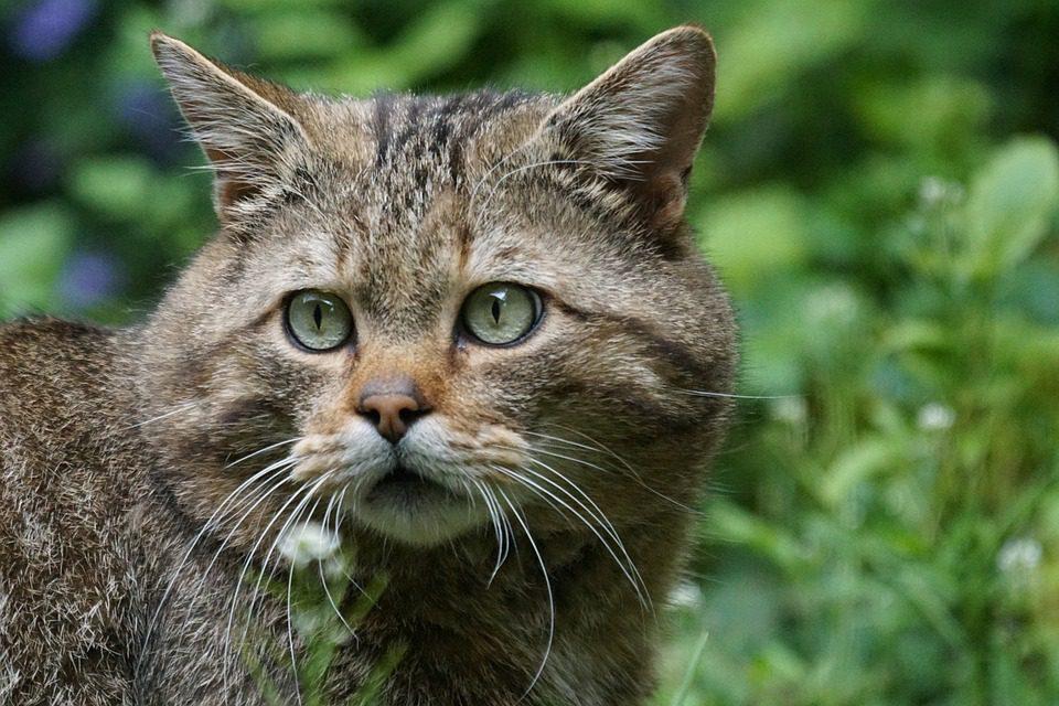 european forest cat