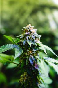 Cannabis sativa plant