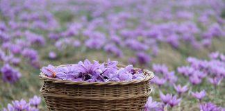 Saffron Crocus Plant