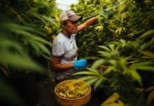 cannabis job