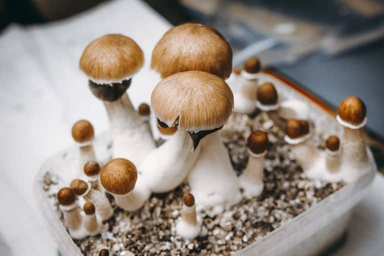 Oakland decriminalizes magic mushrooms and other natural psychedelics