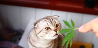 The cat sniffs a leaf of marijuana, canapis, hashish, hash, drugs, weed. Siamese Folded Cat Marijuana