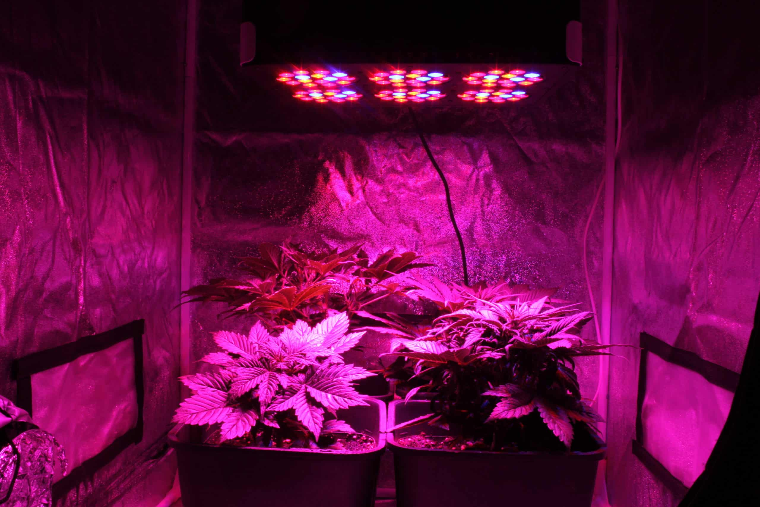 growing cannabis indoor at home