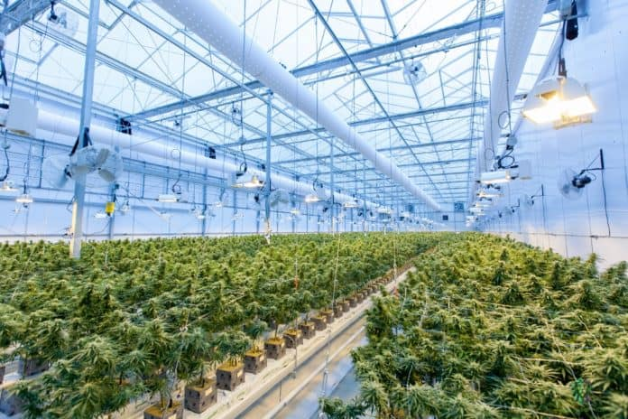 cannabis growing space
